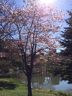 2016年、札幌中島公園にも桜が咲きました!
